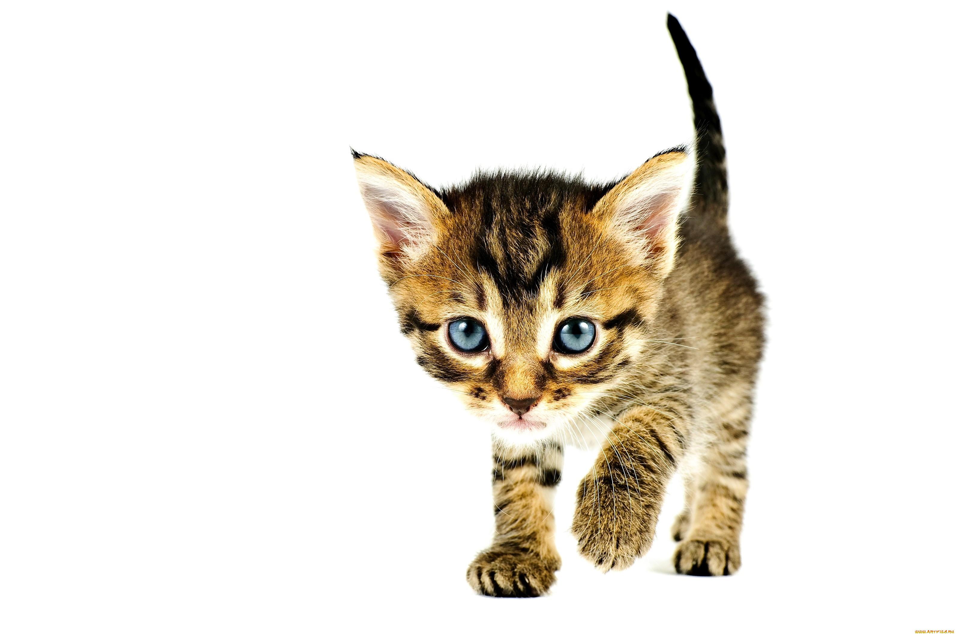 Картинки без фона котенок
